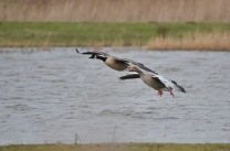 Greylag and Canada Geese