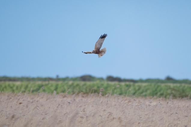 Marsh Harrier 01