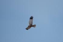 Marsh Harrier 02