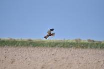 Marsh Harrier 03