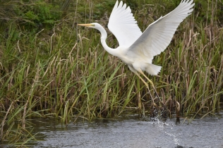 Great White Egret 03