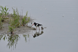 Oystercatcher with young