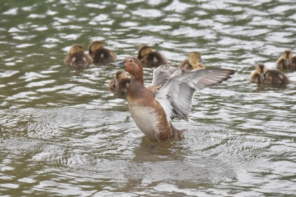 Female Pochard with young