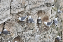 Kittiwakes with Young