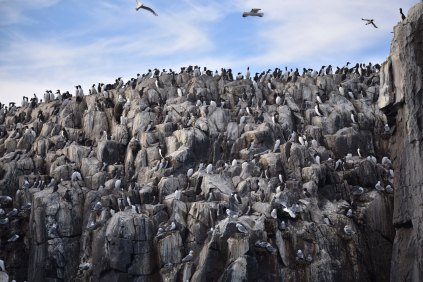 Tens of thousands of seabirds nest on the Farnes each year.
