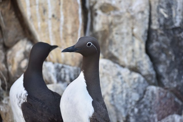 A 'bridled' Guillemot shows off its snazzy new swimming goggles!