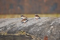 Turnstones near the lighthouse