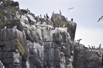 Part of the seabird city on Staple Island