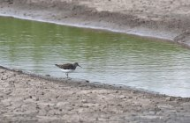 A Green Sandpiper on Townend Lagoon