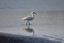 A Little Egret fishing on Marshlands Lagoon