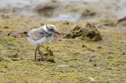 A recently-hatched Ringed Plover chick