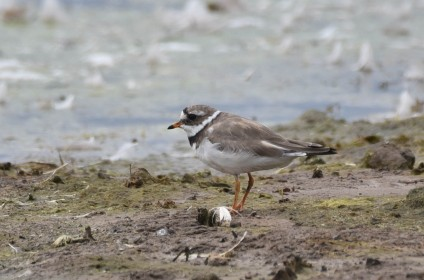 An adult Ringed Plover