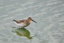 A Dunlin takes a break whilst feeding