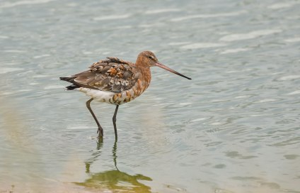 A beautiful Black Tailed Godwit in Summer plumage