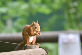 A Red Squirrel was tasked with greeting visitors at the reserve today.