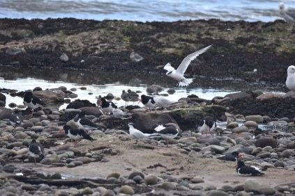 A Sandwich Tern flying above an assortment of other shorebirds at Arbroath