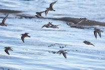 A mixed flock of Dunlin and Ringed Plover