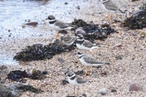 A mixed group of Ringed Plovers and Dunlin on the shoreline at Arbroath