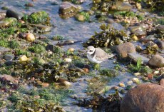 A juvenile Ringed Plover
