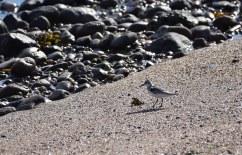 A Sanderling on the shoreline