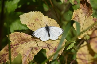 Green Veined White Butterfly