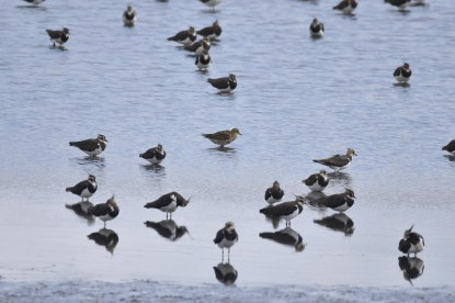 A lone Golden Plover amidst a 'sea' of Lapwings