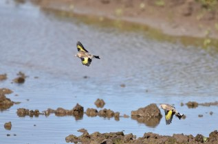 Goldfinch Flypast