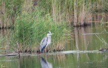 A Heron fishing near the Bittern Hide