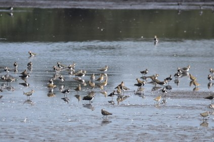 Part of the mixed Wader flock on Wath Ings