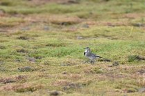 A Pied Wagtail