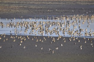 Part of a huge flock of Golden Plover at Wath Ings