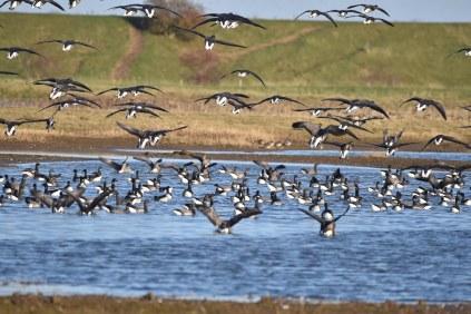 Brent Geese landing near East Hide