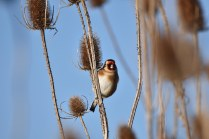 A cheeky Goldfinch - 'Teasel do nicely!'