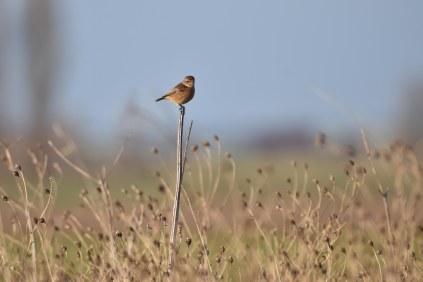 A Stonechat on the lookout on the Reedbed Trail