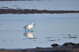 Little Egret fishing at the Causeway
