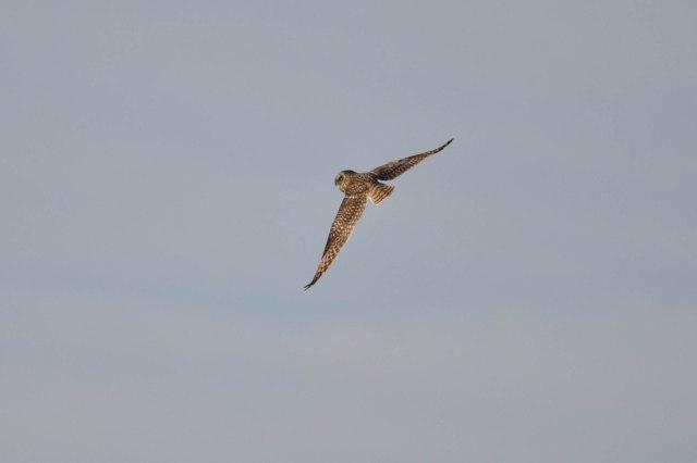 short-eared-owl