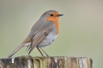 A stunning Robin, begging for food