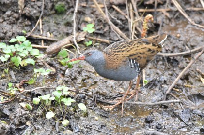 A fabulous Water Rail delighted the crowds - me too!