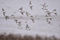 A flock of Dunlin flying over the Volunteer Marsh
