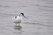 An Avocet takes a break from feeding on the Fresh Marsh