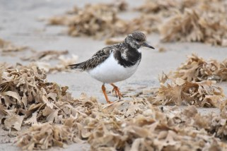 A Turnstone on the beach at Titchwell