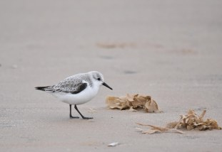A tiny Sanderling on the beach at Titchwell