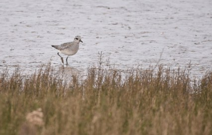 A Grey Plover on the Volunteer Marsh