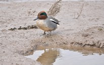 A smart-looking Drake Teal