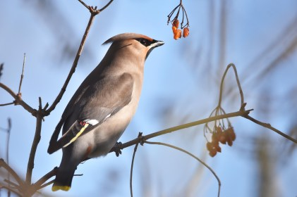 A beautiful Waxwing in the afternoon sunshine