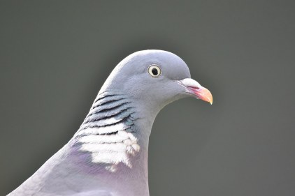 An immaculately-groomed Woodpigeon poses for a portrait at the Bird Garden