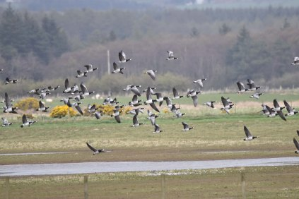 Barnacle Geese near the Tower Hide