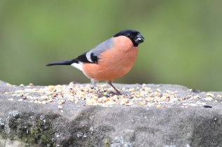 A male Bullfinch in the Bird Garden