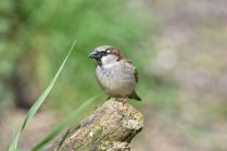 A House Sparrow in the sunshine