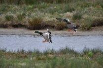 Mallards landing on the Folly Pond